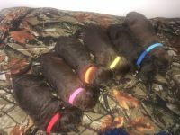 Labradoodle Puppies for sale in New York, NY, USA. price: NA