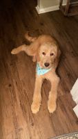 Labradoodle Puppies for sale in Huntsville, AL, USA. price: NA