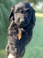 Labradoodle Puppies for sale in Montgomery, TX, USA. price: NA