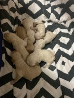 Labradoodle Puppies for sale in Boyne City, MI 49712, USA. price: NA
