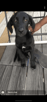 Labradoodle Puppies for sale in Phoenix, AZ, USA. price: NA