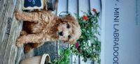 Labradoodle Puppies for sale in New Rochelle, NY, USA. price: NA