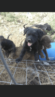 Labradoodle Puppies for sale in Albuquerque, NM, USA. price: NA