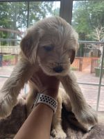 Labradoodle Puppies for sale in Steele Creek, Charlotte, NC, USA. price: NA