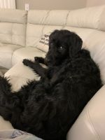 Labradoodle Puppies for sale in Delray Beach, FL, USA. price: NA