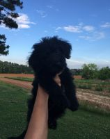 Labradoodle Puppies for sale in Gibsonville, NC, USA. price: NA