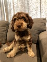 Labradoodle Puppies for sale in Prior Lake, MN, USA. price: NA