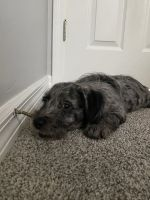 Labradoodle Puppies for sale in Fort Myers, FL, USA. price: NA