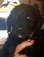 Labradoodle Puppies for sale in Blue Ridge, GA 30513, USA. price: NA