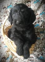 Labradoodle Puppies for sale in Martinsville, MO 64467, USA. price: NA