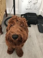 Labradoodle Puppies for sale in San Antonio, TX 78254, USA. price: NA