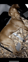 Labradoodle Puppies for sale in Bossier City, LA, USA. price: NA