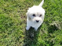 Labradoodle Puppies for sale in North Hollywood, Los Angeles, CA, USA. price: NA