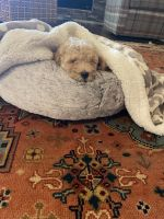Labradoodle Puppies for sale in Fayetteville, GA 30215, USA. price: NA