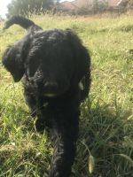 Labradoodle Puppies for sale in Lincoln, CA, USA. price: NA