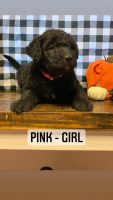 Labradoodle Puppies for sale in Sand Springs, OK, USA. price: NA