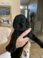 Labradoodle Puppies for sale in Glendale, AZ 85308, USA. price: NA