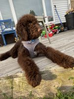 Labradoodle Puppies for sale in North Wildwood, NJ 08260, USA. price: NA