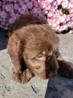 Labradoodle Puppies for sale in Grabill, IN 46741, USA. price: NA