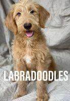 Labradoodle Puppies for sale in Encino, Los Angeles, CA, USA. price: NA