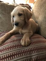 Labradoodle Puppies for sale in Crestview, FL, USA. price: NA