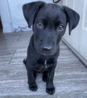 Labradoodle Puppies for sale in San Bernardino, CA, USA. price: NA