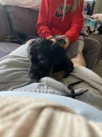 Labradoodle Puppies for sale in Cincinnati, OH, USA. price: NA