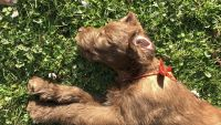 Labradoodle Puppies for sale in Iselin, Woodbridge Township, NJ, USA. price: NA
