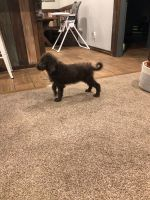 Labradoodle Puppies for sale in Minco, OK 73059, USA. price: NA