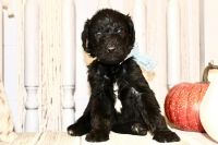 Labradoodle Puppies for sale in Ferron, UT 84523, USA. price: NA