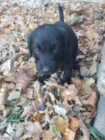 Labradoodle Puppies for sale in Oshkosh, WI, USA. price: NA