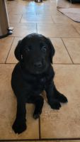 Labradoodle Puppies for sale in Glendale, AZ, USA. price: NA