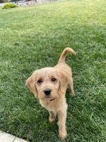 Labradoodle Puppies for sale in Elk Grove, CA, USA. price: NA
