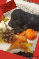 Labradoodle Puppies for sale in Big Rapids, MI 49307, USA. price: NA