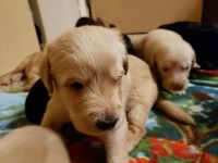 Labradoodle Puppies for sale in Puyallup, WA, USA. price: NA