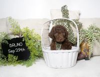 Labradoodle Puppies for sale in La Habra Heights, CA, USA. price: NA