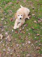 Labradoodle Puppies for sale in Penn Valley, PA 19072, USA. price: NA