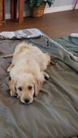 Labradoodle Puppies for sale in Bay Minette, AL 36507, USA. price: NA