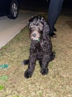 Labradoodle Puppies for sale in Charlotte, NC, USA. price: NA