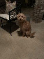Labradoodle Puppies for sale in Yukon, OK, USA. price: NA