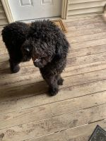 Labradoodle Puppies for sale in Swansea, IL, USA. price: NA