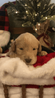 Labradoodle Puppies for sale in Blountville, TN 37617, USA. price: NA