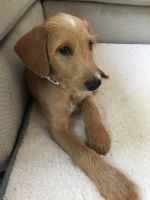 Labradoodle Puppies for sale in Martinez, CA 94553, USA. price: NA