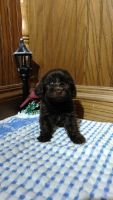 Labradoodle Puppies for sale in LaGrange, IN 46761, USA. price: NA
