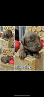Labradoodle Puppies for sale in Darlington, SC 29532, USA. price: NA