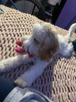 Labradoodle Puppies for sale in Royal Oak, MI, USA. price: NA