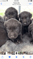 Labradoodle Puppies for sale in 365 Sunkist Beach Rd, Tiptonville, TN 38079, USA. price: NA