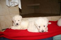 Labradoodle Puppies for sale in Fairfield, CA, USA. price: NA