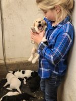 Labradoodle Puppies for sale in Van Etten, NY 14889, USA. price: NA