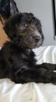 Labradoodle Puppies for sale in The Bronx, NY, USA. price: NA